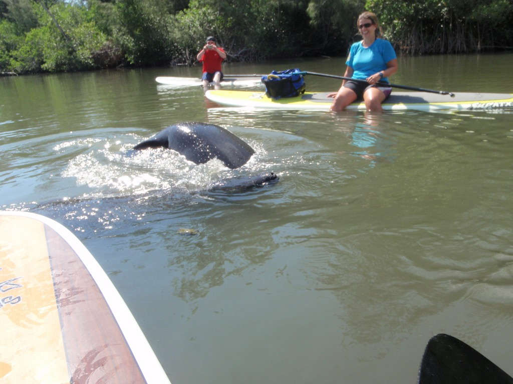 Manatee visit during one of our stand up paddle boarding tours