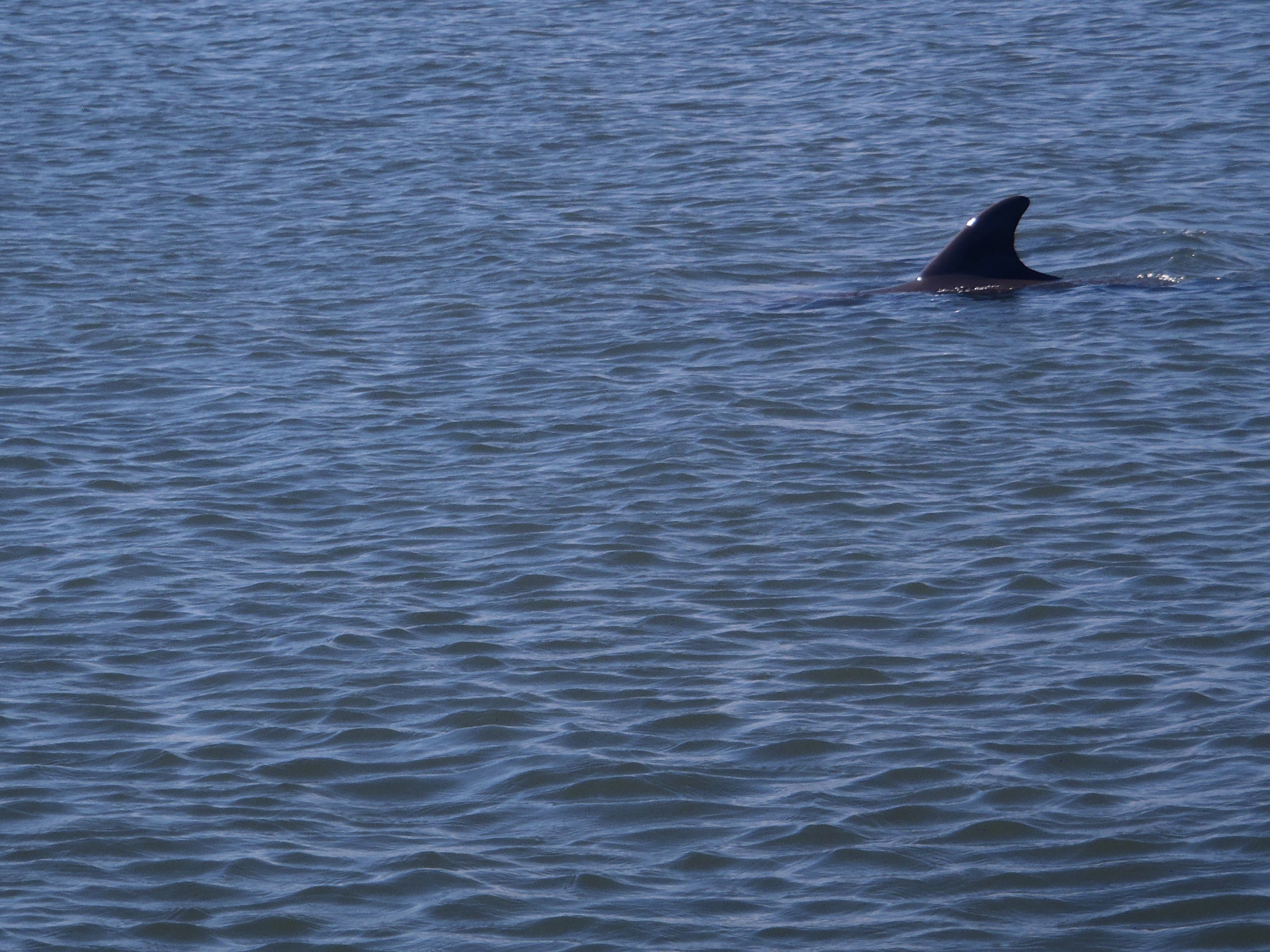 Dolphin Fin Seen While On A Stand Up Paddle Boarding Adventure Tour With Supecoadventures Minutes From