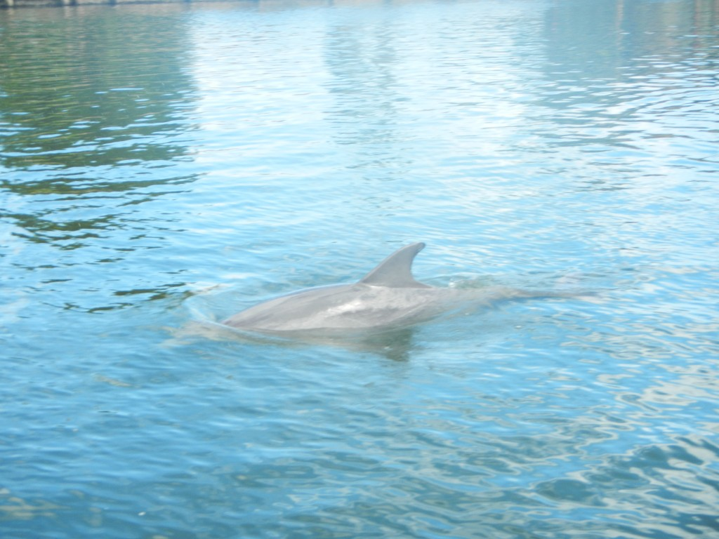 Dolphins seen while on a stand up paddle boarding adventure tour with supecoadventures minutes from cocoa beach vero beach and melbourne beach in central florida east coast (41)